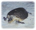 Register to watch a sea turtle nesting.