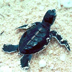 Baby Green Sea Turtle.