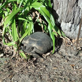 Gopher Tortoise That Doesn T Move