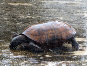 Gopher Tortoise Drinking From Puddles In Parking Lot The Rain