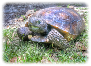 Gopher Tortoise - Questions and Answers