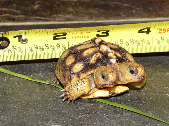 Gopher Tortoise Ask the Expert - Friends of the Enchanted Forest