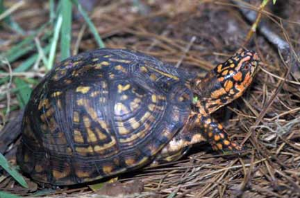 Gopher Tortoise Ask the Expert - Friends of the Enchanted