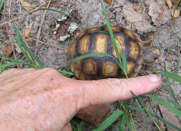 Gopher Tortoise Ask The Expert Friends Of Enchanted Forest Usville Florida